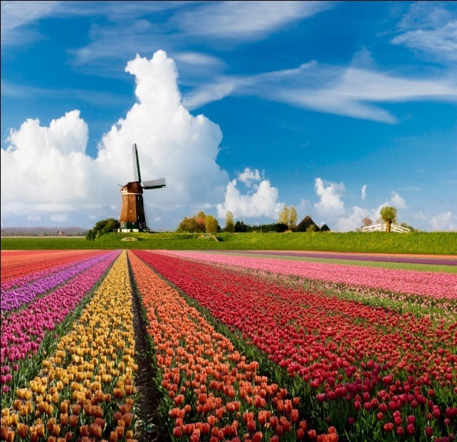 Landschap-Holland-Tulpen.jpg